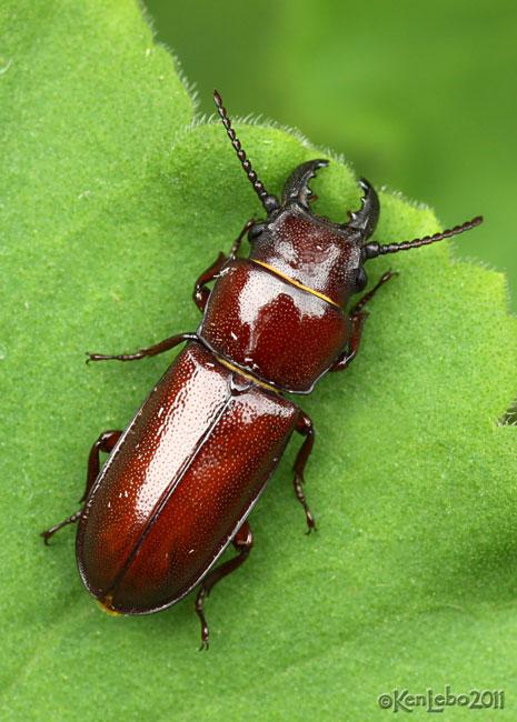Pole Borer Beetle Neandra brunnea