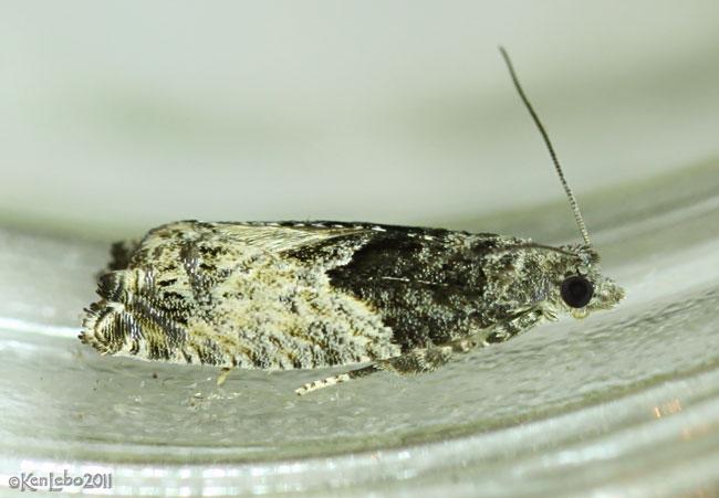 Poplar Branchlet Borer Moth Epinotia nisella #3306