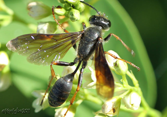 Grass-carrying Wasp Isodontia auripes