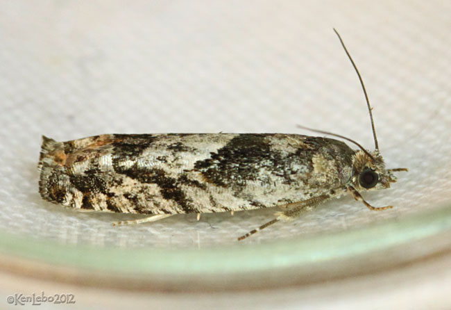 Bare-patched Leafroller Moth Pseudexentera spoliana #3251