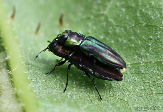 Metallic Wood-boring Beetle Anthaxia quercata