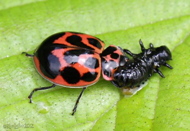 Lady Beetle Neoharmonia venusta