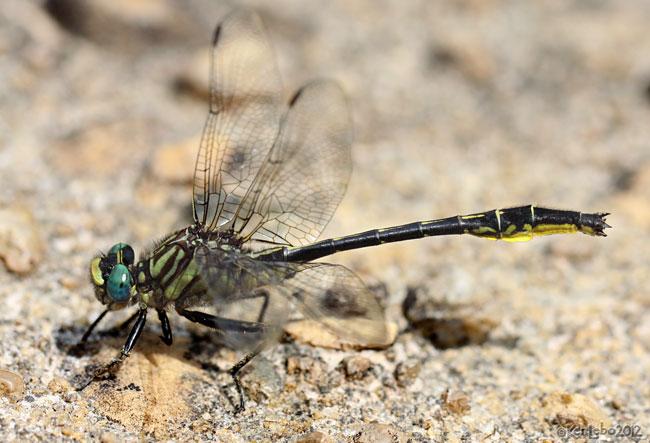 Clearlake Clubtail Phanogomphus australis
