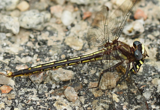 Diminutive Clubtail Phanogomphus diminutus