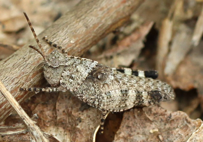 Band-winged Grasshopper nymph