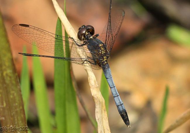 Little Blue Dragonlet Erythrodiplax minuscula