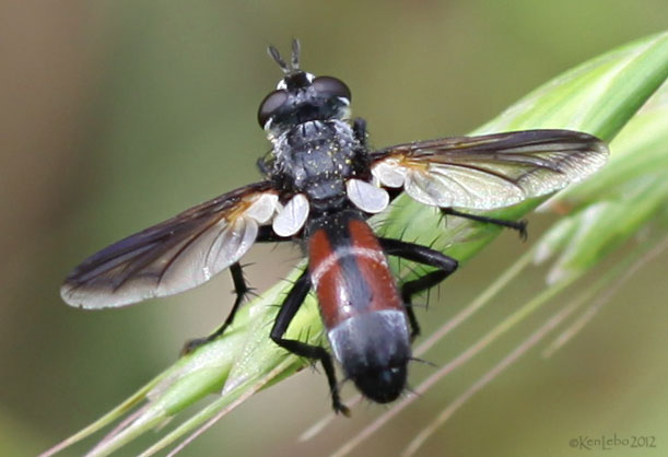 Tachinid Fly Cylindromyia