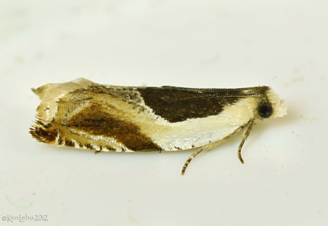 Yellow Birch Leaffolder Moth Ancyllis discigerana #3358
