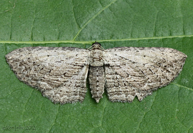 Brown Bark Carpet Moth Horisme intestinata #7445