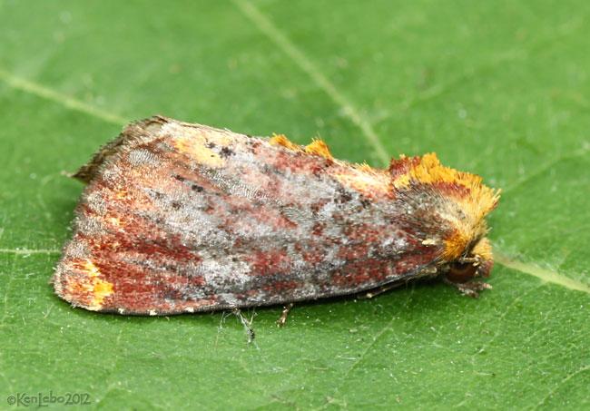Elder Shoot Borer Moth Achatodes zeae #9520