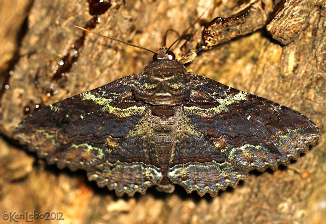 Green-dusted Zale Moth Zale aeruginosa #8694