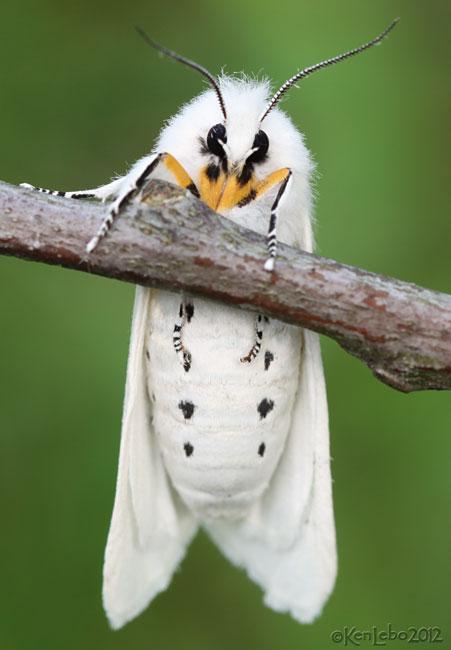 Virginian Tiger Moth Spilosoma virginica #8137