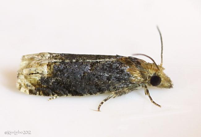 Buff-tipped Phaneta Moth Phaneta ochroterminana #2929
