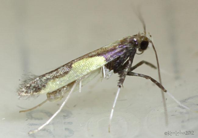 Caloptilia belfragella #0594