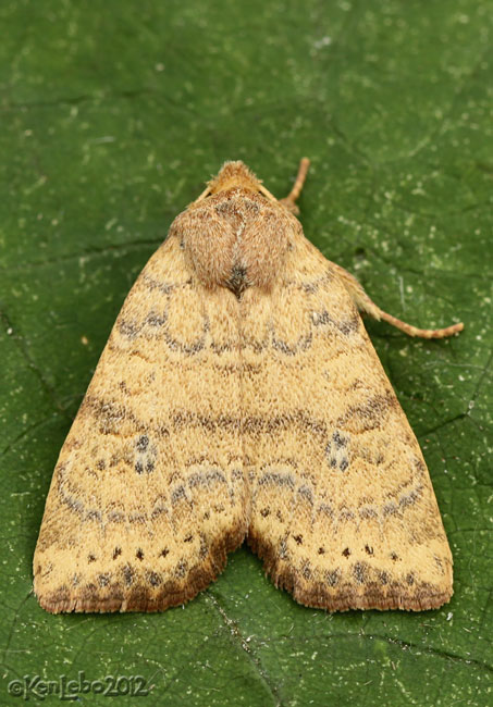 Dotted Sallow Moth Anathix ralla #9961