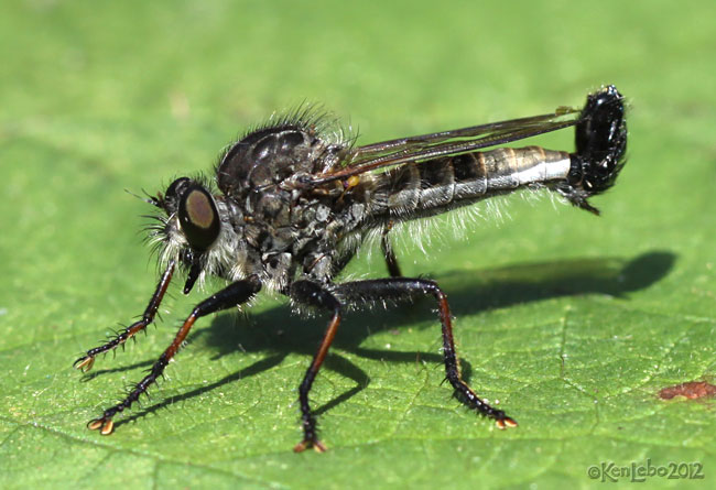 Robber Fly Efferia aestuans