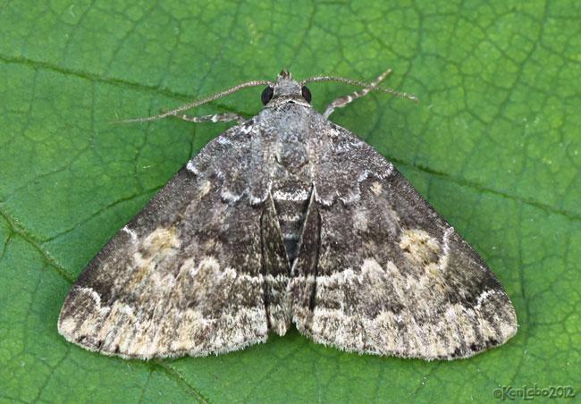 American Idia Moth Idia americalis #8322