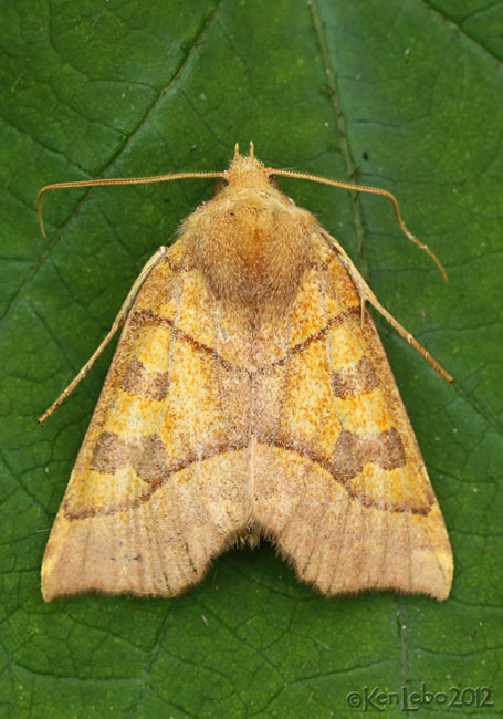 Scalloped Sallow Moth Eucirroedia pampina #9952