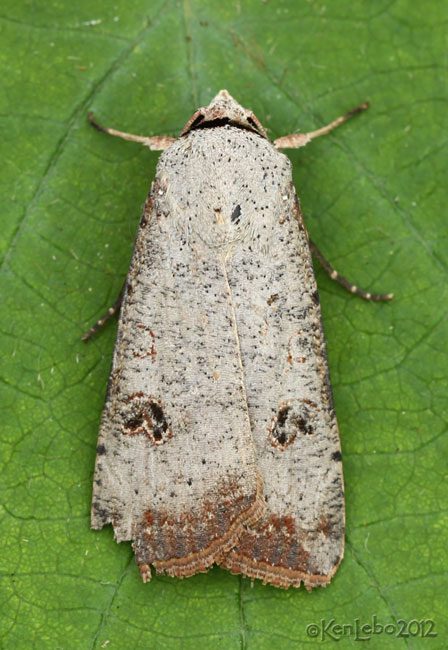 Green Cutworm Moth Anicla infecta #10911