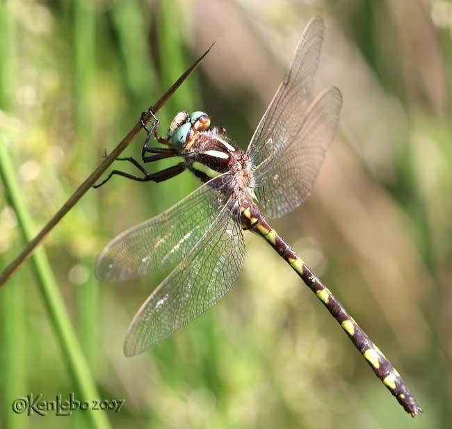 Brown Spiketail <i>Cordulegaster bilineata</i>