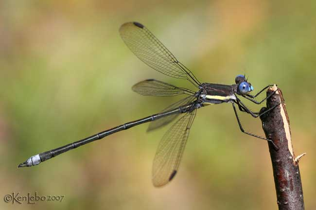 Great Spreadwing Archilestes grandis