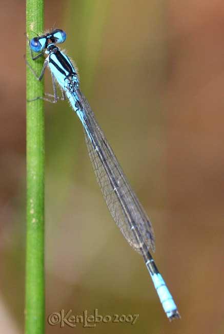 Azure Bluet Enallagma aspersum
