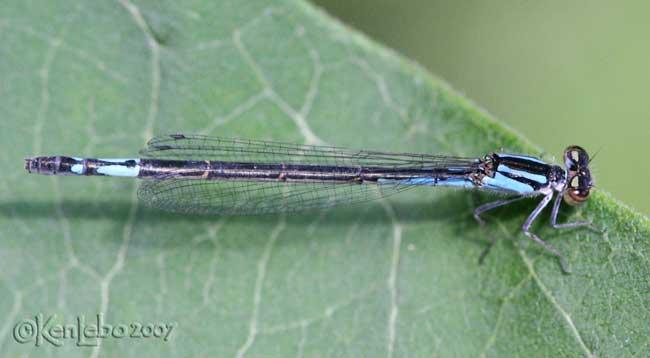Azure Bluet Enallagma aspersum - female