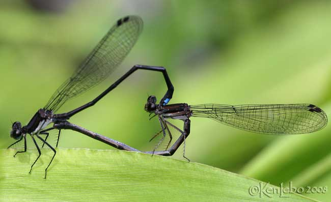 Blue-tipped Dancer - Argia tibialis