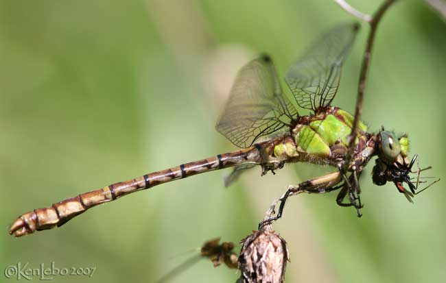 Rusty Snaketail Ophiogomphus rupinsulensis