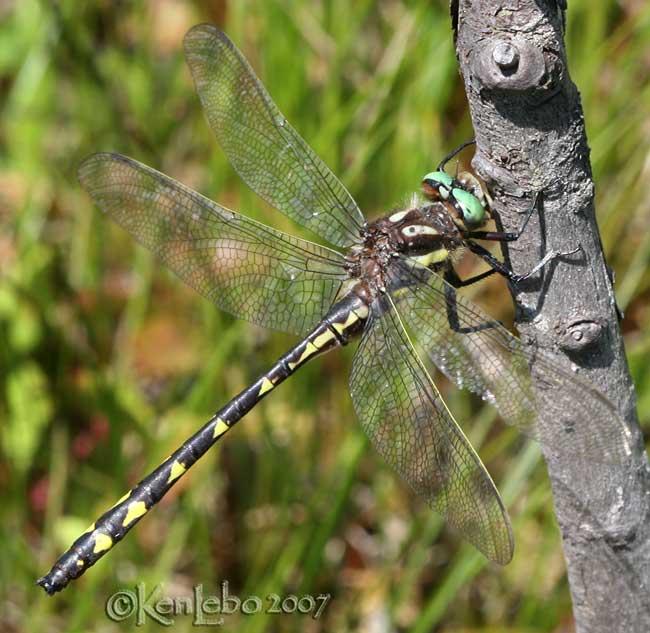 Delta-spotted Spiketail <i>Cordulegaster diastatops</i>