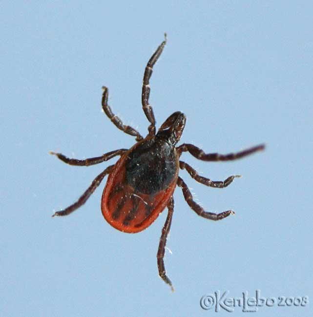 Deer tick - not an insect