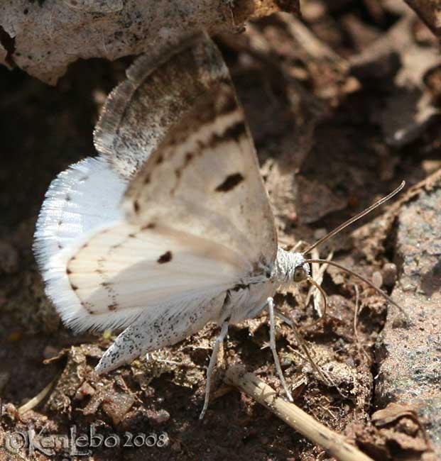 Bluish Spring Moth - Lomographa semiclarata #6666