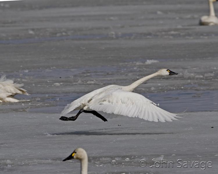 Tundra Swan   bear river 3-18-08 019