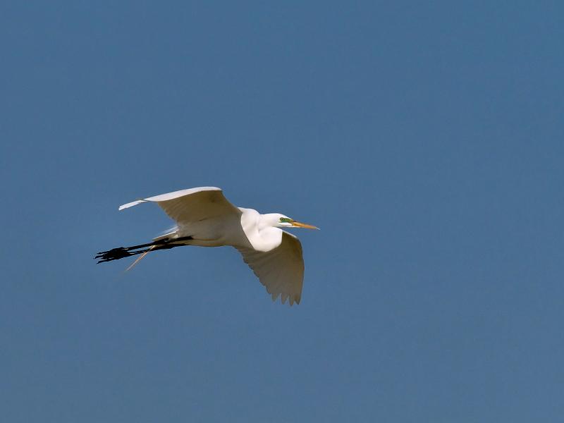 Egret Flight 01 Cropped.jpg