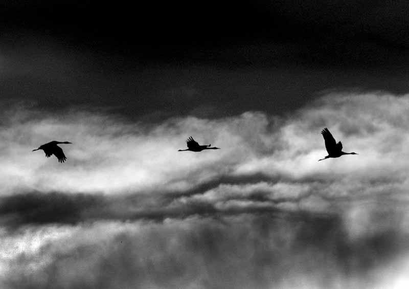 Morning Flight of the Sandhill
