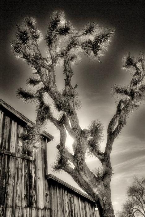 Joshua Tree; Yucca Valley