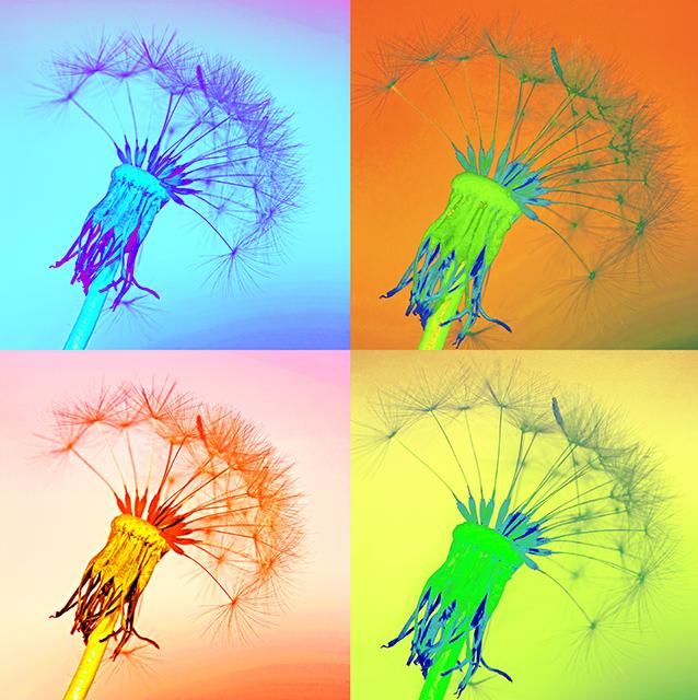 Dandelions 20 x 20