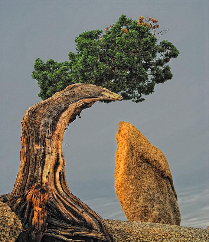 Juniper Pine / Natures-own Bonzai