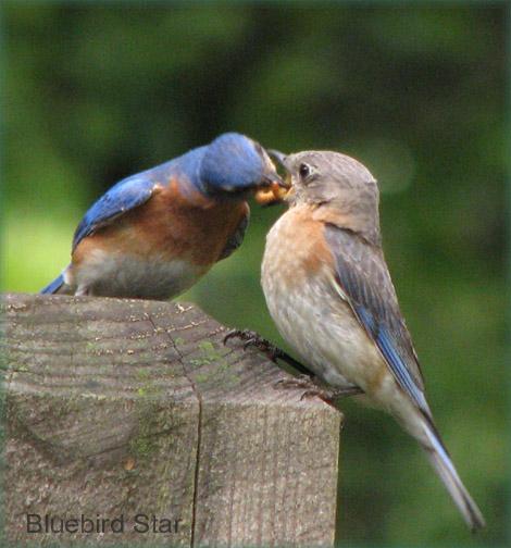 Bluebirds Courting,  Dad Feeds Mom