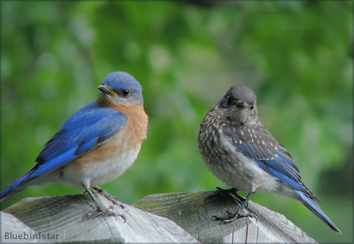 Bluebird Star and Son