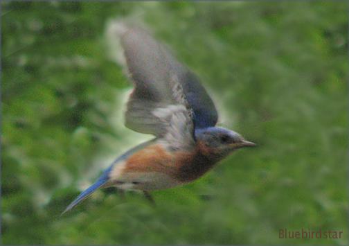 Bluebird Star Out