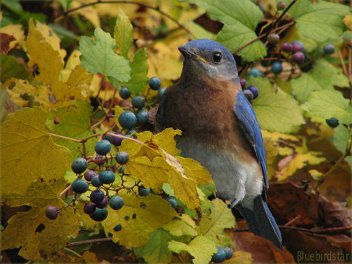 Daydreaming of Bluebirds