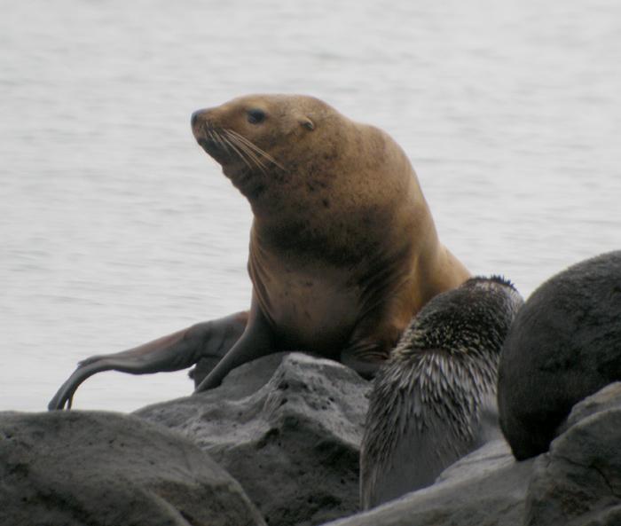 Nordligt sjölejon