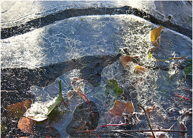 Ivy in Ice