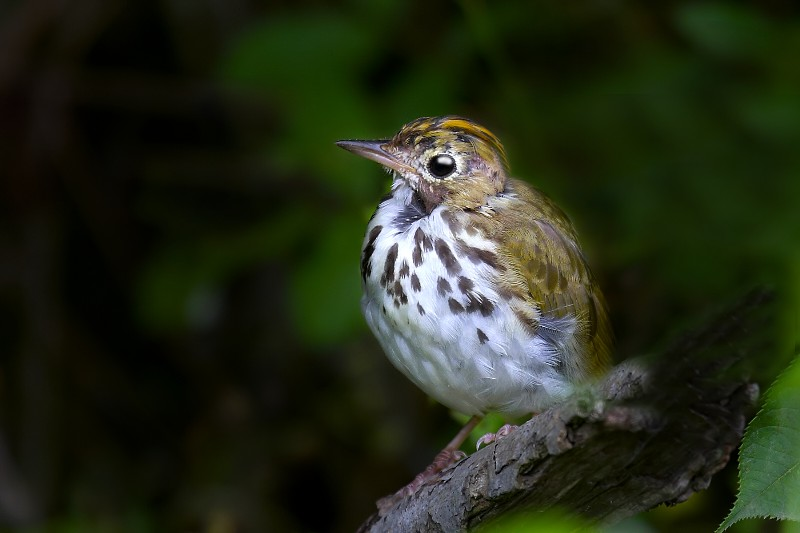Molting Ovenbird
