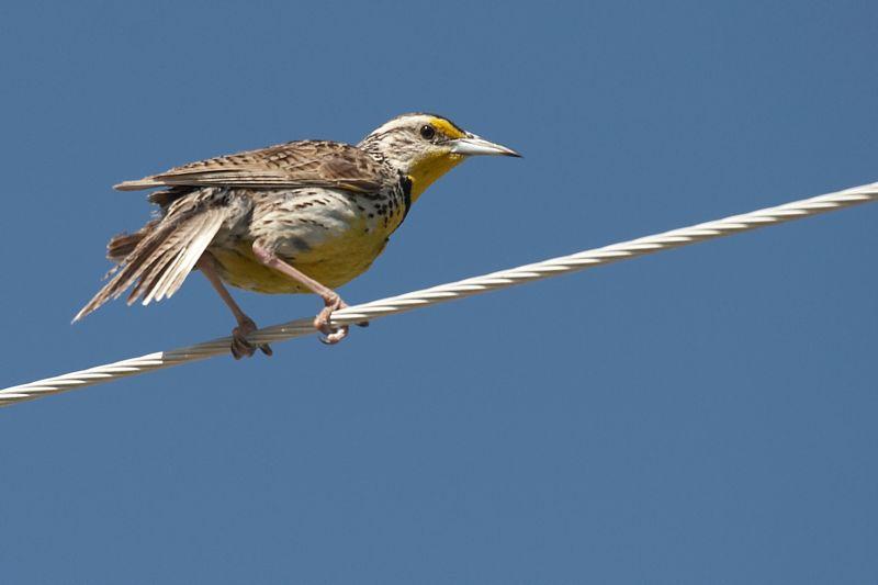 Meadowlark Western
