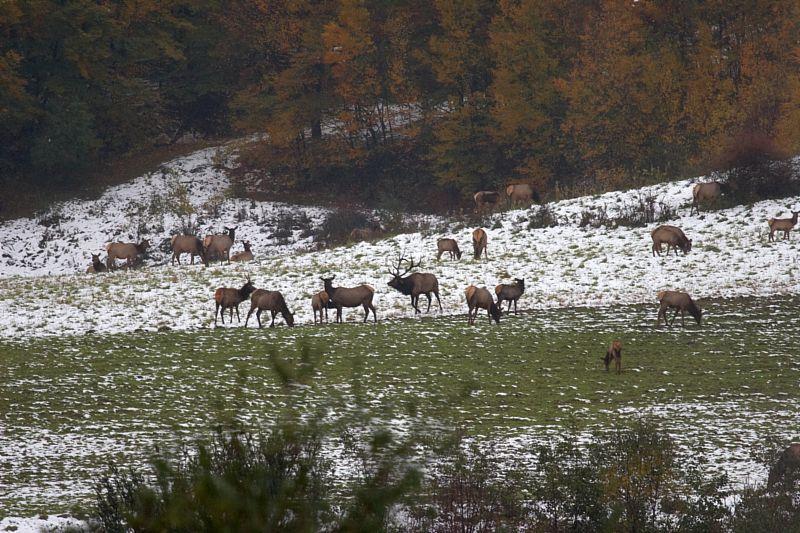 Pennsylvania Elk