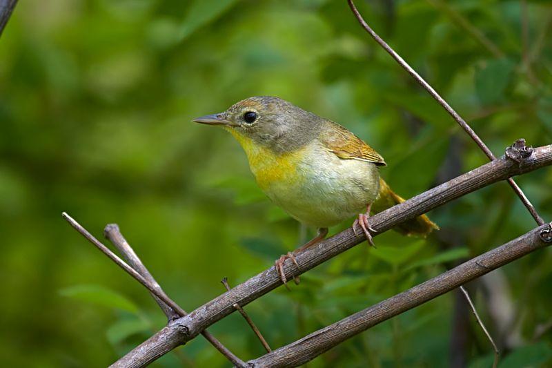 Common Yellowthroat Female