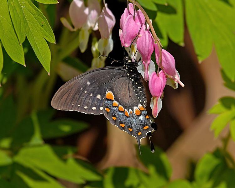 Swallowtail on Bleeding Hearts
