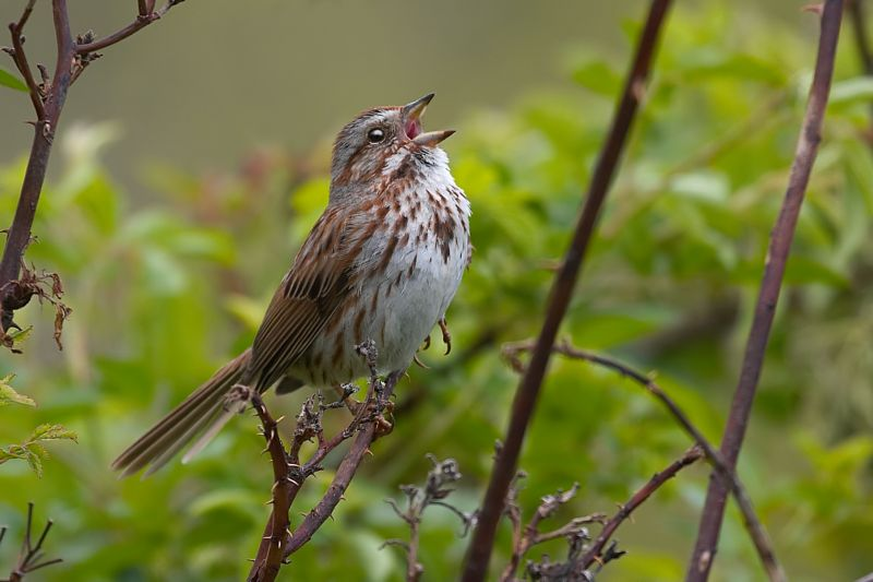 Singing Song Sparrow
